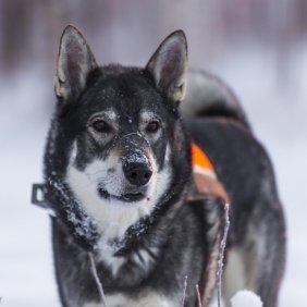 Švedų elkhundas informacija, nuotraukos, charakteris, šunų vardai, šuniuko kaina, hipoalerginis: ne