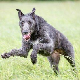 Škotų dirhaundas informacija, nuotraukos, charakteris, šunų vardai, šuniuko kaina, hipoalerginis: ne