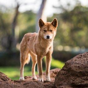 Dingas informacija, nuotraukos, charakteris, šunų vardai, šuniuko kaina, hipoalerginis: ne
