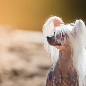 Kinų kuoduotasis šuo informacija, nuotraukos, charakteris, šunų vardai, šuniuko kaina, hipoalerginis: taip