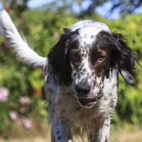 Anglų seteris informacija, nuotraukos, charakteris, šunų vardai, šuniuko kaina, hipoalerginis: ne