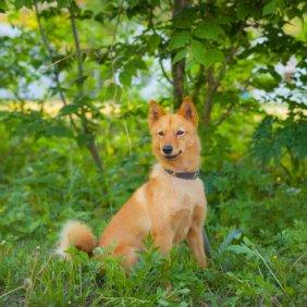 Karelų lokinis šuo informacija, nuotraukos, charakteris, šunų vardai, šuniuko kaina, hipoalerginis: ne