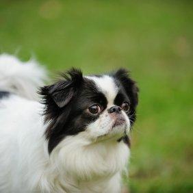 Japonų činas informacija, nuotraukos, charakteris, šunų vardai, šuniuko kaina, hipoalerginis: ne