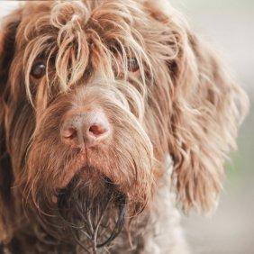Prancūzų šiurkščiaplaukis grifonas informacija, nuotraukos, charakteris, šunų vardai, šuniuko kaina, hipoalerginis: taip