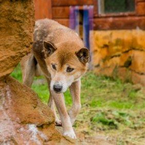 Naujosios Gvinėjos dainuojantis šuo informacija, nuotraukos, charakteris, šunų vardai, šuniuko kaina, hipoalerginis: ne