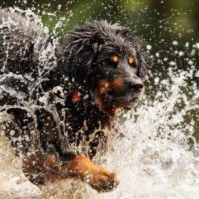 Hovavartas informacija, nuotraukos, charakteris, šunų vardai, šuniuko kaina, hipoalerginis: ne