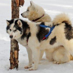 Kanados Eskimų šuo informacija, nuotraukos, charakteris, šunų vardai, šuniuko kaina, hipoalerginis: ne