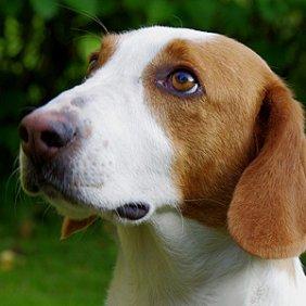 Švedų dašbrakas informacija, nuotraukos, charakteris, šunų vardai, šuniuko kaina, hipoalerginis: ne