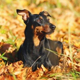 Vokiečių pinčeris informacija, nuotraukos, charakteris, šunų vardai, šuniuko kaina, hipoalerginis: ne