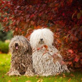 Komondoras informacija, nuotraukos, charakteris, šunų vardai, šuniuko kaina, hipoalerginis: ne