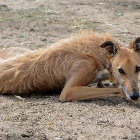 American Staghound informacija, nuotraukos, charakteris, šunų vardai, šuniuko kaina, hipoalerginis: ne