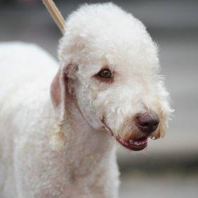 Bedlingtono terjeras informacija, nuotraukos, charakteris, šunų vardai, šuniuko kaina, hipoalerginis: taip