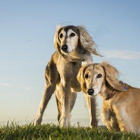 Saliukis (persų kurtas) informacija, nuotraukos, charakteris, šunų vardai, šuniuko kaina, hipoalerginis: ne