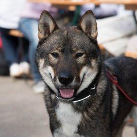 Šikoku informacija, nuotraukos, charakteris, šunų vardai, šuniuko kaina, hipoalerginis: ne