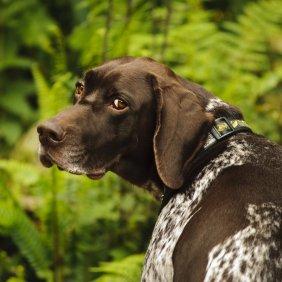 Vokiečių Kurtsharas (Trumpaplaukis pointeris) informacija, nuotraukos, charakteris, šunų vardai, šuniuko kaina, hipoalerginis: ne