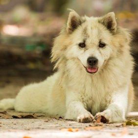 Tailando Bangkaew šuo informacija, nuotraukos, charakteris, šunų vardai, šuniuko kaina, hipoalerginis: ne