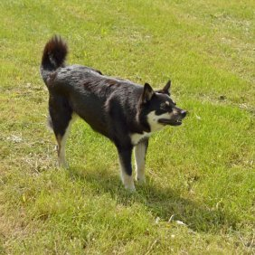 Suomių šiaurės elnių ganymo šuo informacija, nuotraukos, charakteris, šunų vardai, šuniuko kaina, hipoalerginis: ne