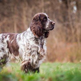 Anglų springerspanielis informacija, nuotraukos, charakteris, šunų vardai, šuniuko kaina, hipoalerginis: ne