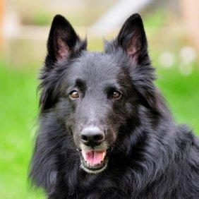 Belgų aviganis - Griunendalis informacija, nuotraukos, charakteris, šunų vardai, šuniuko kaina, hipoalerginis: ne