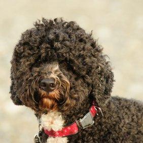 Portugalų vandens šuo informacija, nuotraukos, charakteris, šunų vardai, šuniuko kaina, hipoalerginis: taip