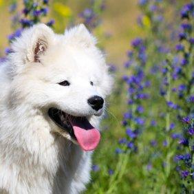 Samojedas informacija, nuotraukos, charakteris, šunų vardai, šuniuko kaina, hipoalerginis: taip