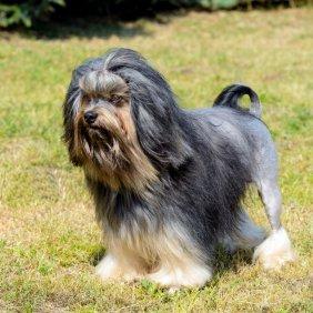 Šuo liūtukas informacija, nuotraukos, charakteris, šunų vardai, šuniuko kaina, hipoalerginis: taip