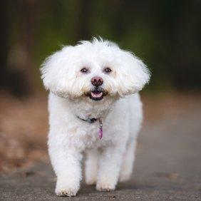 Garbanotasis bišonas informacija, nuotraukos, charakteris, šunų vardai, šuniuko kaina, hipoalerginis: taip