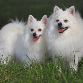 Italų volpinas informacija, nuotraukos, charakteris, šunų vardai, šuniuko kaina, hipoalerginis: ne