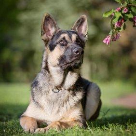 Rytų Europos aviganis informacija, nuotraukos, charakteris, šunų vardai, šuniuko kaina, hipoalerginis: ne