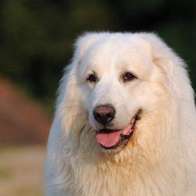Pirėnų kalnų šuo informacija, nuotraukos, charakteris, šunų vardai, šuniuko kaina, hipoalerginis: ne