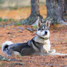 Vakarų Sibiro laika informacija, nuotraukos, charakteris, šunų vardai, šuniuko kaina, hipoalerginis: ne