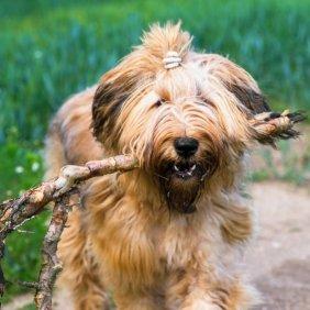 Briaras informacija, nuotraukos, charakteris, šunų vardai, šuniuko kaina, hipoalerginis: ne