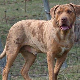Catahoula Bulldog informacija, nuotraukos, charakteris, šunų vardai, šuniuko kaina, hipoalerginis: ne