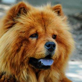 Čiau-čiau informacija, nuotraukos, charakteris, šunų vardai, šuniuko kaina, hipoalerginis: ne