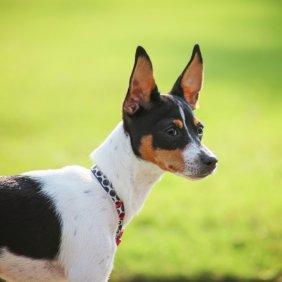 Žiurkinis terjeras informacija, nuotraukos, charakteris, šunų vardai, šuniuko kaina, hipoalerginis: ne