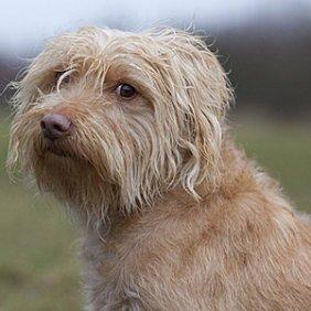 Olandų smoushaundas informacija, nuotraukos, charakteris, šunų vardai, šuniuko kaina, hipoalerginis: ne