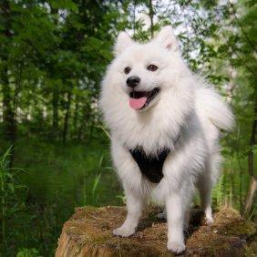 Japonų špicas informacija, nuotraukos, charakteris, šunų vardai, šuniuko kaina, hipoalerginis: ne