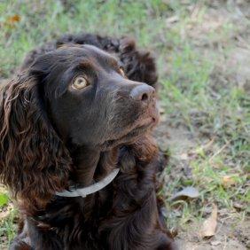 Boykin spanielis informacija, nuotraukos, charakteris, šunų vardai, šuniuko kaina, hipoalerginis: ne