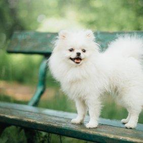 Pomeranijos špicas informacija, nuotraukos, charakteris, šunų vardai, šuniuko kaina, hipoalerginis: ne