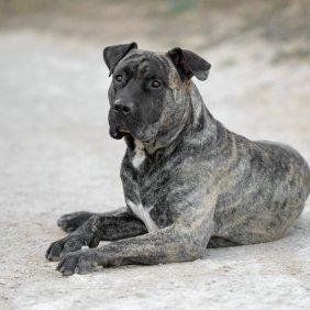 Kanarų dogas informacija, nuotraukos, charakteris, šunų vardai, šuniuko kaina, hipoalerginis: ne
