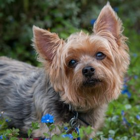 Australų šilkinis terjeras informacija, nuotraukos, charakteris, šunų vardai, šuniuko kaina, hipoalerginis: taip