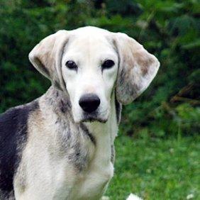 Norvegų skalikas informacija, nuotraukos, charakteris, šunų vardai, šuniuko kaina, hipoalerginis: ne
