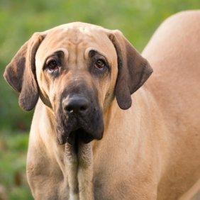 Brazilų mastifas informacija, nuotraukos, charakteris, šunų vardai, šuniuko kaina, hipoalerginis: ne