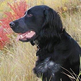 Mėlynasis Pikardo spanielis informacija, nuotraukos, charakteris, šunų vardai, šuniuko kaina, hipoalerginis: ne