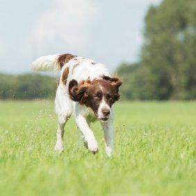 Drentės kurapkinis šuo informacija, nuotraukos, charakteris, šunų vardai, šuniuko kaina, hipoalerginis: ne