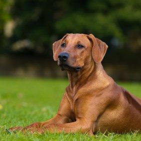 Rodezijos ridžbekas informacija, nuotraukos, charakteris, šunų vardai, šuniuko kaina, hipoalerginis: ne