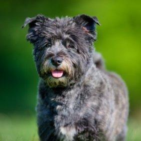 Kernterjeras informacija, nuotraukos, charakteris, šunų vardai, šuniuko kaina, hipoalerginis: taip