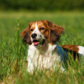 Olandų mažasis spanielis informacija, nuotraukos, charakteris, šunų vardai, šuniuko kaina, hipoalerginis: ne
