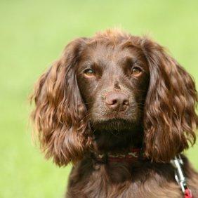 Fildspanielis informacija, nuotraukos, charakteris, šunų vardai, šuniuko kaina, hipoalerginis: ne