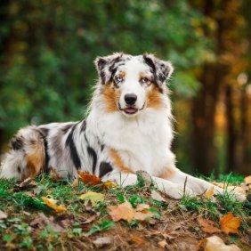 Australų aviganis informacija, nuotraukos, charakteris, šunų vardai, šuniuko kaina, hipoalerginis: ne